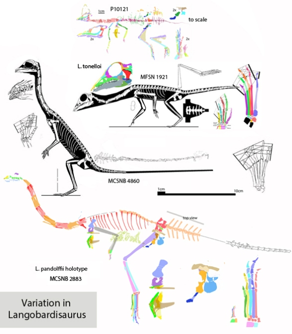 Figure 1. Four Langobardisaurus specimens compared to scale. Contra Saller et al. 2013, these four specimens do not appear to be conspecific.