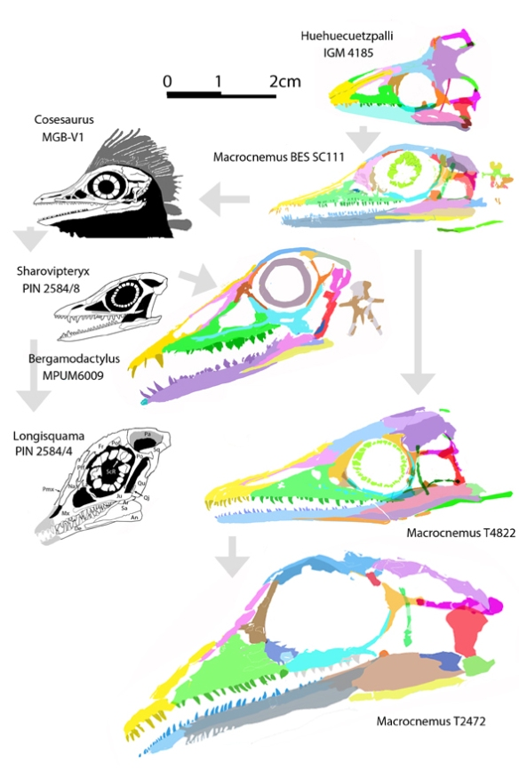 Figure 1. Several Macrocnemus specimens to scale alongside the ancestral taxon in the LRT, Huehuecuetzpalli, and descendant taxa in the LRT, including Cosesaurus and the fenestrasaurs Sharovipteryx, Longisquama and Bergamodactylus. The similarities in transitional taxa should be obvious.