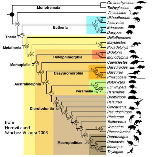 Figure 2. A cladogram of metatherian mammals based on skeletal and soft traits by Horovitz and Sánchez-Villagra 2003. This cladogram lacks a large number of carnivorous metatherians, a large number of basal prototheres and a large number of basal eutherians. On the other hand, the LRT is missing the uncolored taxa. Colors correspond to the metathere subset of the LRT (Fig. 3).Horovitz and Sánchez-Villagra 2003 recovered a monophyletic Diprotodontia in contrast to the LRT.