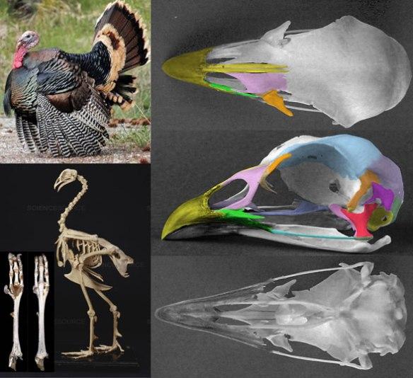Figure 1. The turkey (genus: Meleagris) in vivo, standing skeleton and skull.