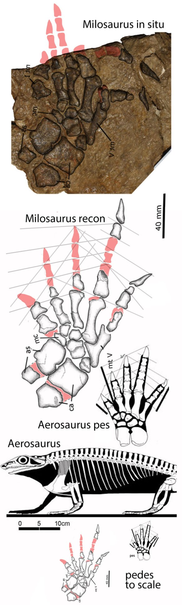 Figure 1. The pes of Milosaurus in situ, reconstructed and compared to Aerosaurus, its sister in the LRT.