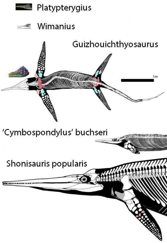 Figure 3. Ichthyosaurs from the Platypterygius - Shonisaurus clade.