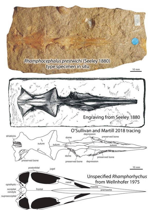 Figure 2. Rhamphocephalus in situ, traced by Seeley, traced by O'Sullivan and Martill and Rhamphorhynchus graphic from Wellnhofer 1975.