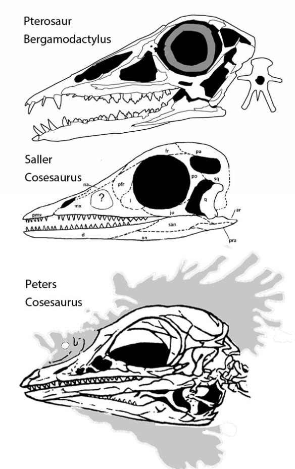 Figure 2. Ironically, the Saller 2016 freehand reconstruction of Cosesaurus looks more like the pterosaur, Bergamodactylus, than the tracing by Peters of Cosesaurus. Yet Saller does not see the shared traits in Cosesaurus and pterosaurs.
