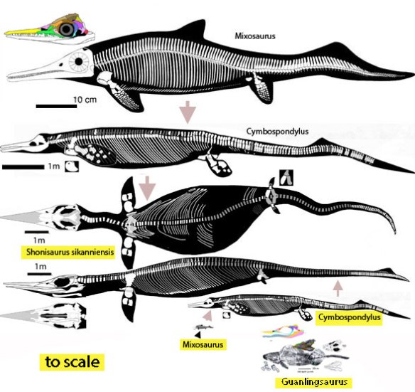 Figure 2. Ichthyosaurs from the Mixosaurus - Cymbospondylus clade, another clade trending toward gigantism.