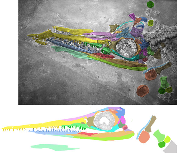 Figure 2. The GPIT specimen attributed to Suevoleviathan has a longer rostrum than mandible.