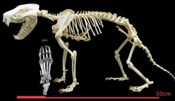 Figure 2. Tasmanian devil (Sarcophelis) skeleton.