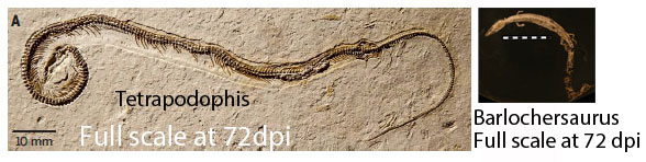 Figure 3. Tetrapodophis and Barlochersaurus at full scale when seen on a monitor at 72 dpi.