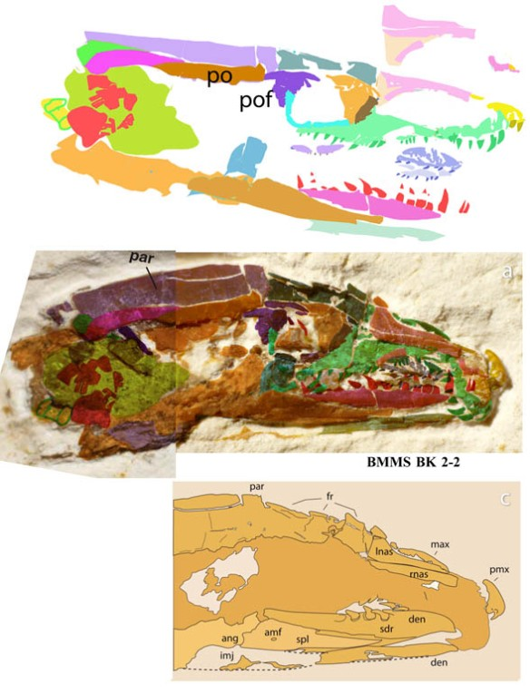 Figure 4. The skull of Tetrapodophis, the proximal outgroup taxon to living snakes.