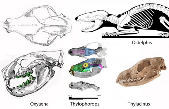 Figure 1. Crowned as the largest didelphid (by not much actually) Thylophorops nests between leopard-like Oxyaena and wolf-like Thylacinus in the LRT.