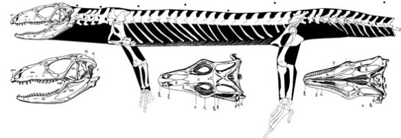 Figure 2. Tupinambis is the extant tegu lizard, a sister to Dorseitsaurus in the LRT.