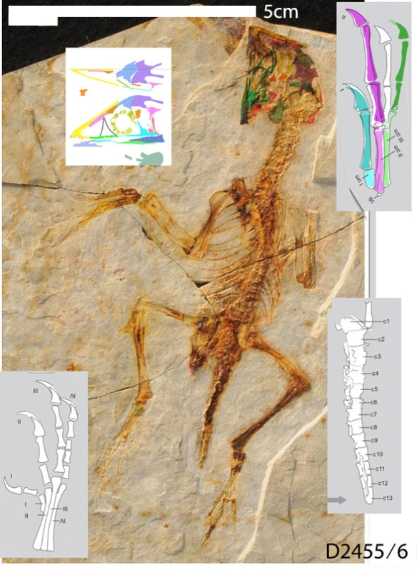 Figure 2. Zhongornis in situ.