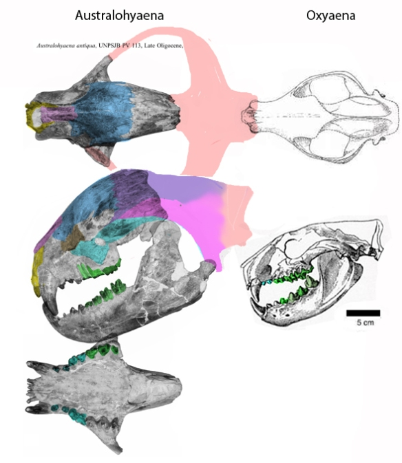 Figure 1. Australohyaena, a big sister to the cat-like marsupial, Oxyaena, in the LRT.