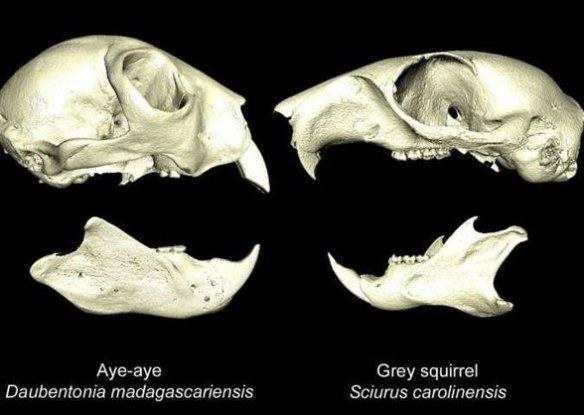 Figure 1. From Morris, Cobb and Cox 2018, µCT images of Daubentonia and Sciurus.