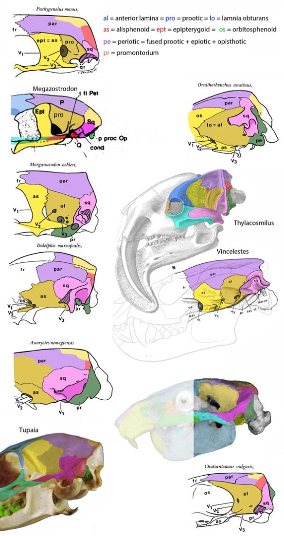 Figure 1. Braincase bones of pre-mammals and mammals from Hopson and Rougier 1993, with some (Thylacosmilus, Tupaia and Kryptobaatar) added here. Colors added.