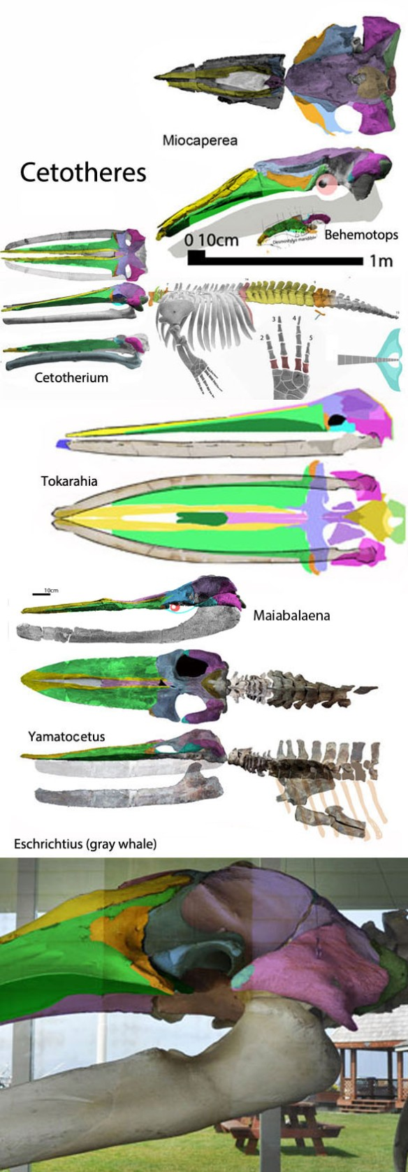Figure 2. A selection of cetotheres, including Maiabalaena, to scale.