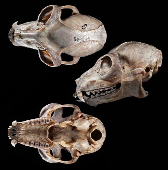 Figure 2. Lemur catta skull in 3 views.