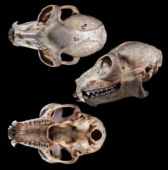 Figure 2. Lemur catta skull in 3 views.