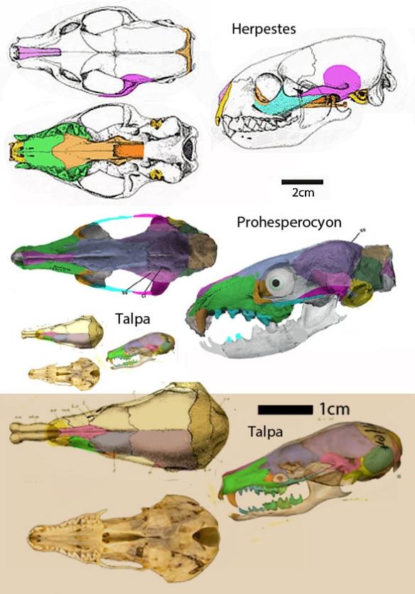 Figure 1. Taxa in the origin and evolution of moles, Herpestes, Prohesperocyon and Talpa.
