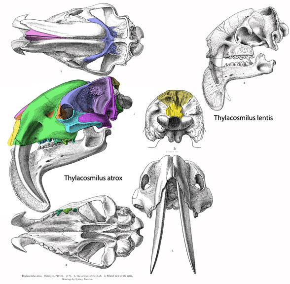 Figure 2. Thylacosmilus skull. Note the deep maxillae in dorsal contact containing giant canine roots. These are not present in Patagosmilus.