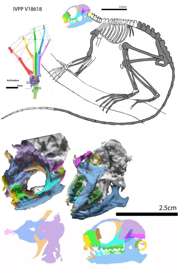 Figure 1. Archicebus elements in situ and in vivo with colors added.