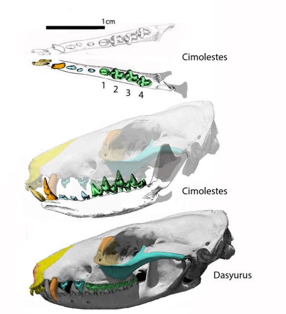 Figure 1. Cimolestes is represented by a toothy mandible. Here it nests with the extant Dasyurus if the back of the skull is shorter. Apparently the coronoid process is oddly narrow.