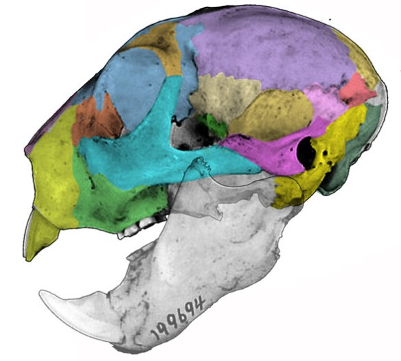 Figure 3. Daubentonia skull shares a long list of traits with multituberculate skulls.