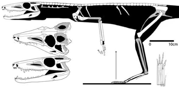 Figure 4. Dromicosuchus makes a first appearance here at PH.WP.com. Note the similarities to the YPM specimen. Phylogenetic analysis nests the YPM specimen apart from Dromicosuchus by 20 steps.