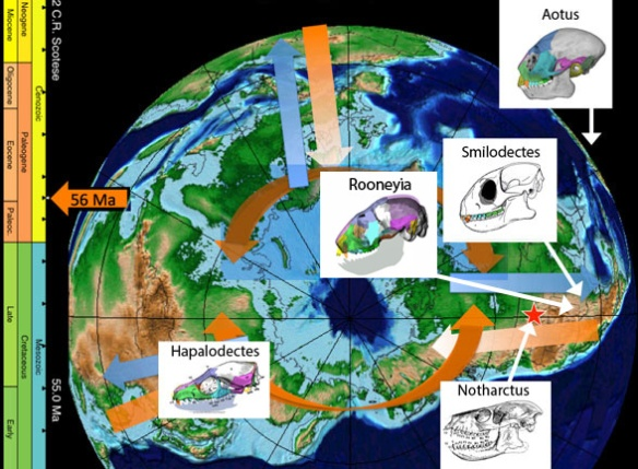 Figure 3. The North Pole during the earliest Eocene from the CR Scotese Paleomap project with early primate skulls added, each demonstrating a gradual accumulation of traits.