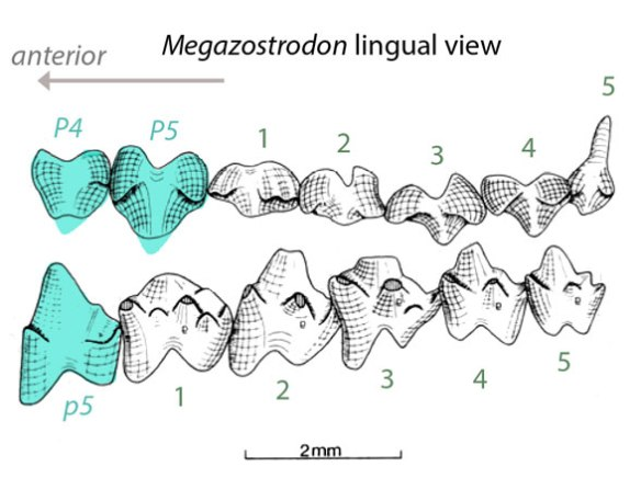 Figure 5. Megazostrodon molars display a tribosphenic cusp arrangement. Therefore all mammals are derived from this cusp pattern.