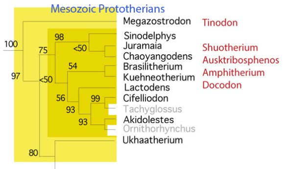 Figure 2. Mesozoic prototherians + Megazostrodon, the last common ancestor of all mammals. Only two taxa (gray) are post-Cretaceous.