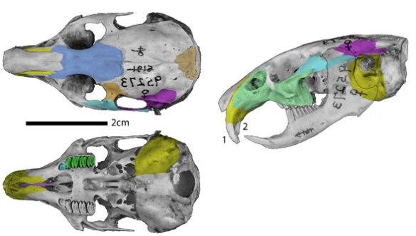 Figure 1. Pika skull (genus: Ochotona) in three views.