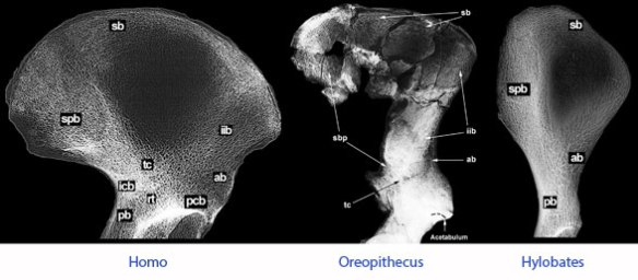 Figure 3. From Rook et al. 1999 comparing an Oreopithecus ilium to that of Homo and Hylobates.