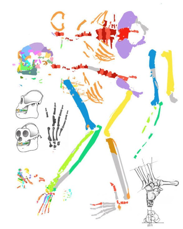 Figure 2. Tentative reconstruction of elements traced in the Oreopithecus in situ figure 1. Other elements added from other authors.