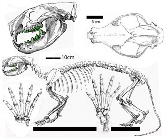 Figure 1. Oxyaena, a traditional creodont. This is a cat-like member of the carnivorous Marsupialia.
