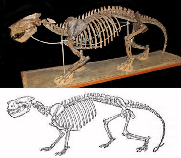 Figure 4. Patriofelis museum mount. This is the sort of wolverine (genus: Gulo) that evolves into seals and walruses.