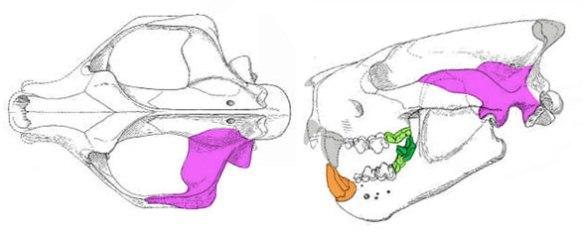 Figure 3. Patriofelis skull in two views.