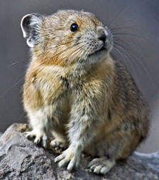 Figure 2. Pika is a basal rabbit that prefers mountainous terrain. A sister, Henkelotherium, goes back to the Late Jurassic.