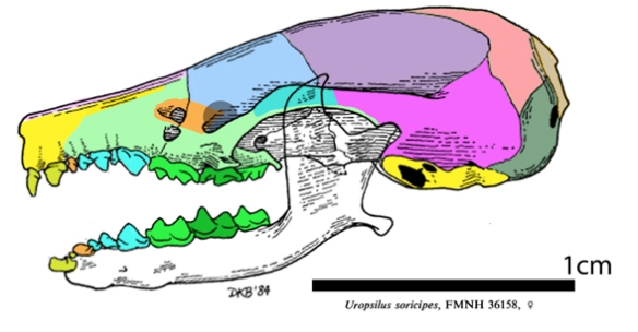 Figure 2. The mole-shrew, Uropsilus, is not related to the mole, Talpa (Carnivora), but is related to the shrew (clade Glires).