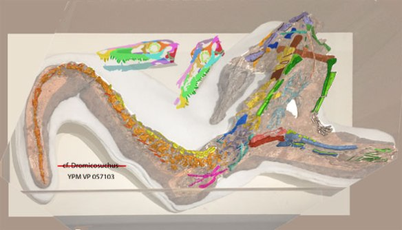 FIgure 1. YPM VP 057 103 in situ with bones colored and reconstructed skull shown alongside.