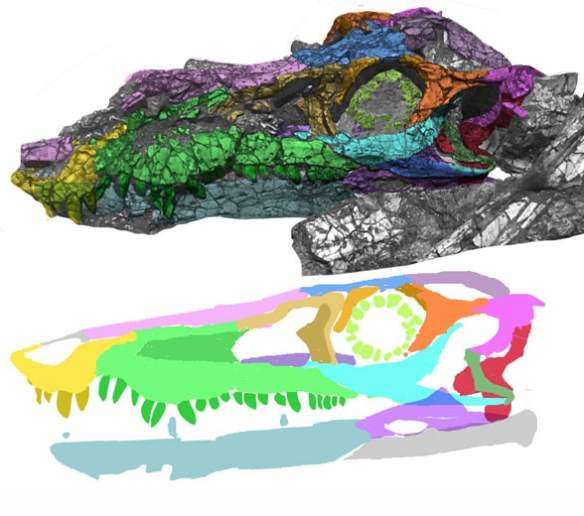 Figure 1. YPM VP 057 103 skull in situ, traced with colors using DGS methodology and reconstructed.