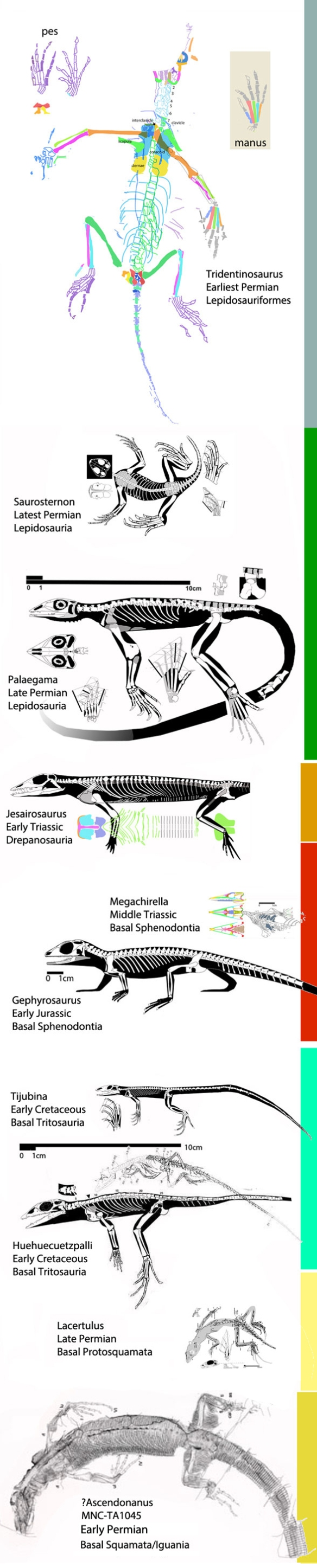 Figure 1. Basal lepidosauriformes to scale from Tridentinosaurus (Earliest Permian) to Huehuecuetzpalli (Early Cretaceous). Subtle differences lump and split these taxa into their various clades.
