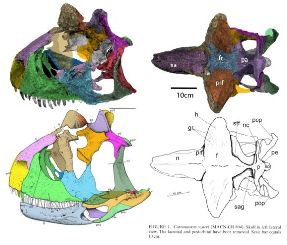 Figure 1. Carnotaurus skull. Note the traditional frontals are much reduced here. The horns are comprised of the lacrimals + prefrontals.