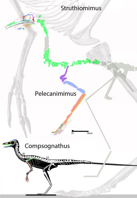 Figure 4. Pelecanimimus to scale with Struthiomimus and Compsognathus.