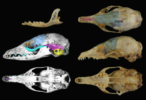 Figure 2. Eupleres is a Madagascar mongoose with a long, tree-shrew-like skull with a longer premaxilla.