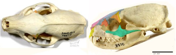Figure 1. The Egyptian mongoose, Herpestes, develops a postorbital bar arising from the layered postfrontal and postorbital reappearing in this clade.