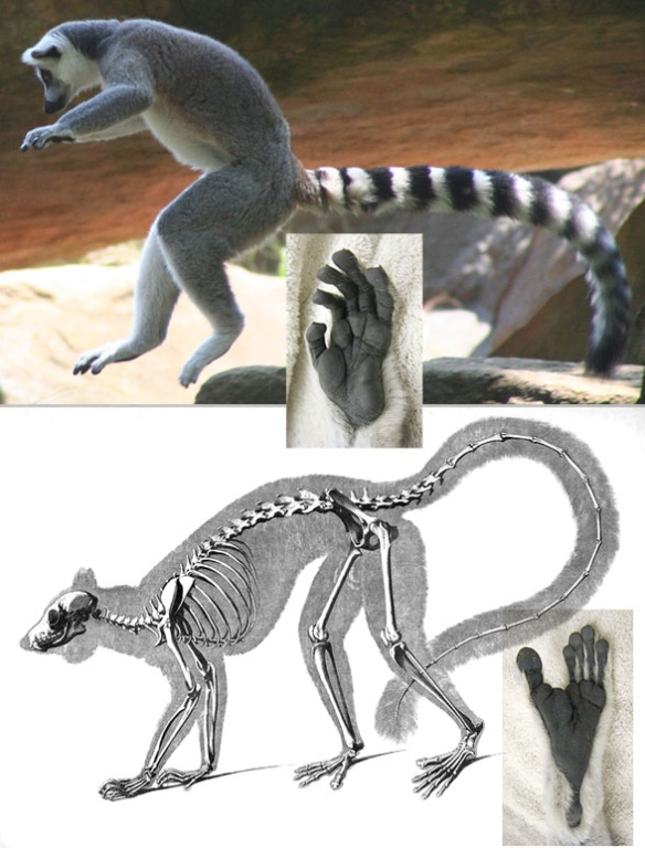 Figure 2. Lemur catta in vivo and skeleton.