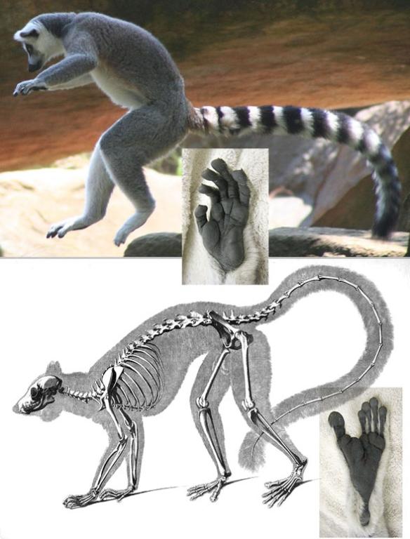 Figure 2. Lemur catta in vivo and skeleton.