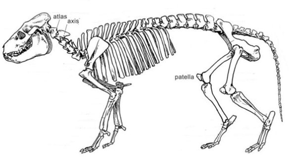 Figure 1. Merycoidodon reconstruction traced by an unknown artist from an AMNH mount photo.