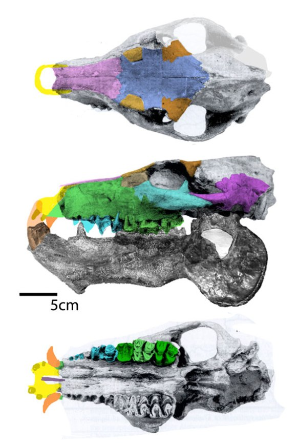 Figure 4. Merycopotamus skull and mandible with colors identifying the reappearances of the prefrontal and postfrontal.